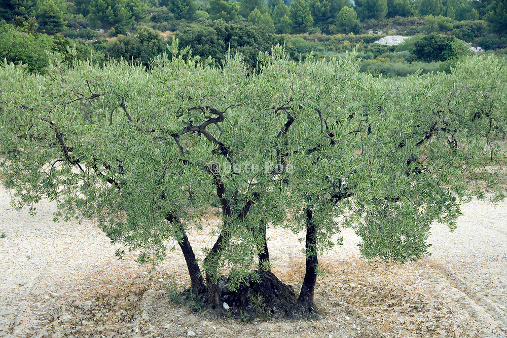 a beautiful olive tree in Provence France
