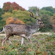 London,England,UK: 26th October 2016: Fallow deer roam the park during the autumnal rutting season' at Richmond park, London,UK. Photo by See Li