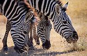 Burchells Plains Zebra ,Grumeti,Tanzania