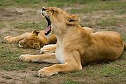 Female lion yawning, Masai Mara, Kenya