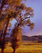 Cottonwoods along the edge of the Ruby River Valley with the Snowcrest Range beyond, Madison County, Montana.