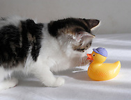 Middletown, N.Y. - A kitten plays with a  yellow rubber ducky on a child's bed on Oct. 31, 2006.&#xA;<br />
