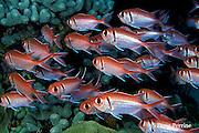 blackbar soldierfish or big-eyed squirrelfish,  Myripristis jacobus, Dominica ( Caribbean Sea )