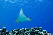 schooling spotted eagle ray, Aetobatus narinari, Ice Cream bommie, Saipan, Commonwealth of Northern Mariana Islands, Micronesia ( Western Pacific Ocean )