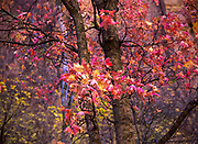 Fall foliage in Zion National Park
