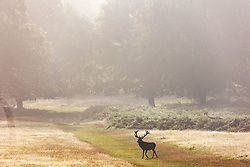Licensed to London News Pictures. 06/09/2021. London, UK. A stag walks through the warm mist in Richmond Park, south-west London as weather forecaster predict a mini-heatwave for September this week with temperatures hitting over 29c tomorrow. Photo credit: Alex Lentati/LNP