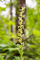 "Of the two green-flowered piperia orchids found in North America, this one is also the most common and is found in most of the Western United States and Canada, and parts of Eastern Canada including Ontario, Quebec, and Newfoundland. How you can tell the two apart is by the length of the spur, which is a small horn-like appendage growing underneath each flower. In this species, the spur is equal to or slightly shorter than the lip of the flower (the bottom part that looks like a wide ""lower petal"" in the middle of each flower) as opposed to the closely related long-spurred Piperia (Piperia elongata) which has a spur quite a bit longer than the lip. As always, it always makes me very excited to see these unusual and often hard to spot wild native orchids out in the wild, such as this one growing near the Deschutes River in rural Thurston County, Washington just west of Mount Rainier."