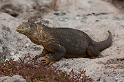 A land Iguana (Conolophus subcristatus), on South Plaza Island. Galapagos Archipelago, Ecuador.