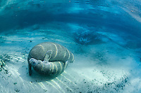 Florida manatee, Trichechus manatus latirostris, a subspecies of the West Indian manatee, endangered. Two male manatee calves engage in intimate play by warm blue springheads. One of a series of calf intimate play or cavorting play behaviors. More manatees rest in the background. Horizontal orientation with rainbow sun rays and blue water. Three Sisters Springs, Crystal River National Wildlife Refuge, Kings Bay, Crystal River, Citrus County, Florida USA.