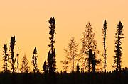 Black spruce trees silhouettes at dusk<br /> Lynn Lake<br /> Manitoba<br /> Canada