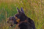 Backlit, cow, moose, Grand Teton National Park