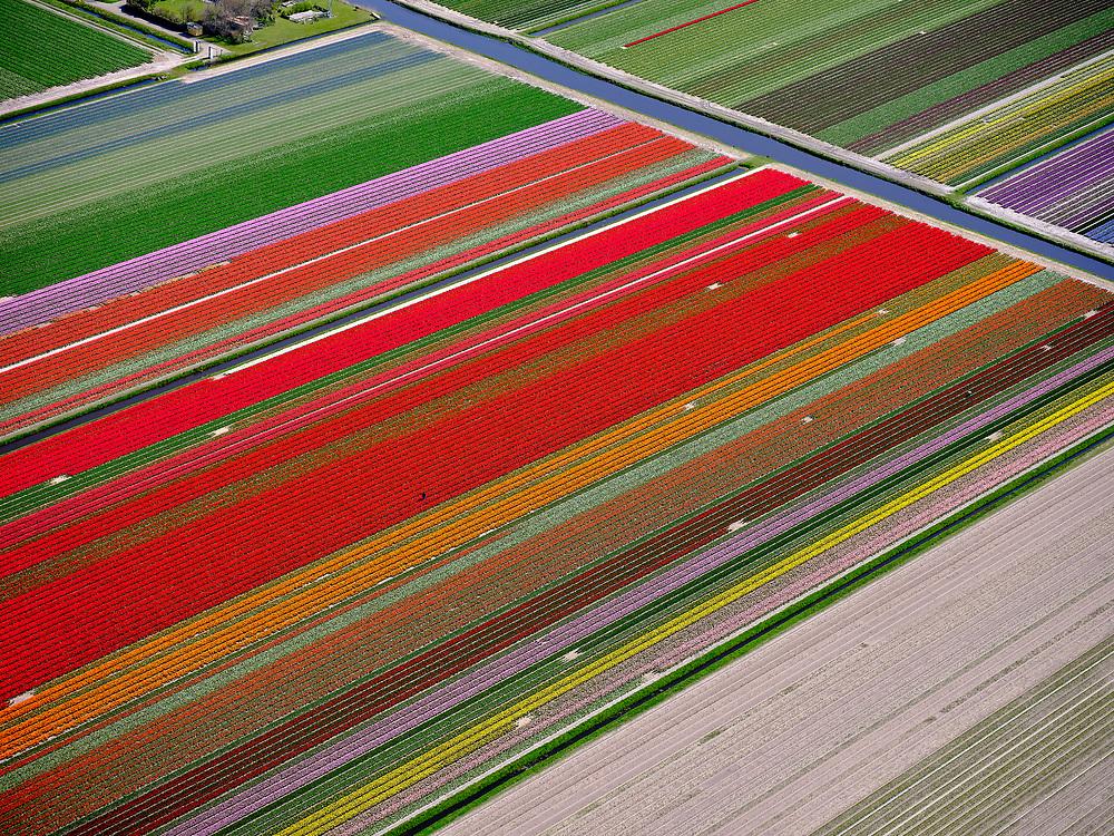 Nederland, Noord-Holland, gemeente Schagen, 07-05-2021; Petten, Pettemerduinen. Landbouwer loop tussen de bollen en inspecteert de tulpen. Bloembollenvelden in bloei.<br /> Petten, Pettemerduinen. Farmer walks between the bulbs and inspects the tulips. Flower bulb fields in bloom.<br /> <br /> luchtfoto (toeslag op standard tarieven);<br /> aerial photo (additional fee required)<br /> copyright © 2021 foto/photo Siebe Swart