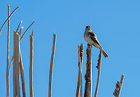 Ash-throated Flycatcher, Myiarchus cinerascens, in Saguaro National Park, Arizona