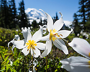 Erythronium montanum, Spray Park, Mount Rainier National Park, Washington, USA. The White Avalanche Lily is native to the alpine and subalpine Cascade and Olympic Ranges of the Pacific Northwest and coastal British Columbia in North America.