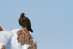 Perched Golden Eagle, Jackson Hole, Wyoming