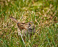 White-throated Sparrow in the grass. Backyard winter nature in New Jersey. Image taken with a Nikon D2xs camera and 80-400 mm VR lens (ISO 400, 400 mm, f/6, 1/160 sec)