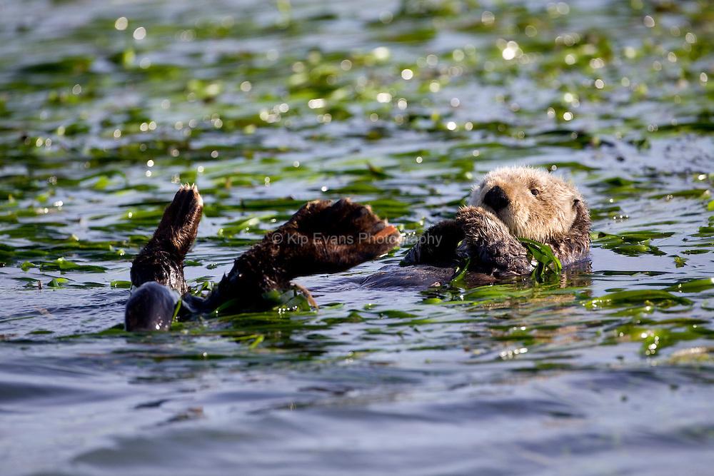A sea otter swims through an eel grass bed in Elkhorn Slough - Moss Landing, California.