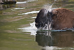 Bison shaking off the water after Crossing Yellowstone River in Yellowstone National Park