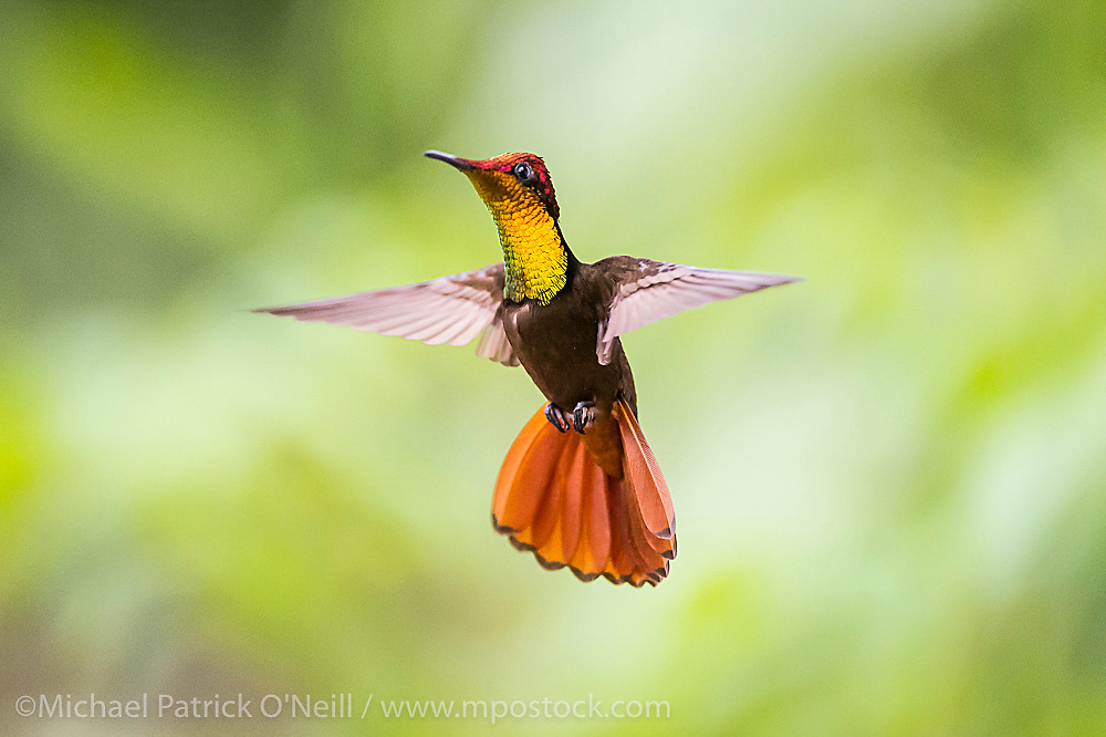 Male  Ruby Topaz Hummingbird, Chrysolampis mosquitus, photographed in  Trinidad.