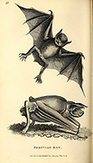 Peruvian Bat from General zoology, or, Systematic natural history Part I, by Shaw, George, 1751-1813; Stephens, James Francis, 1792-1853; Heath, Charles, 1785-1848, engraver; Griffith, Mrs., engraver; Chappelow. Copperplate Printed in London in 1800. Probably the artists never saw a live specimen