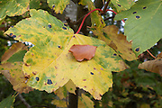Autumn colours, maple, beech leaf<br /> *ADD TO CART FOR LICENSING OPTIONS*