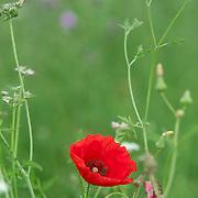 Red poppies on a field at the El Bierzo region, Spain