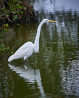 Great Egret hunting for food. Biolab Road, Merritt Island National Wildlife Refuge. Image taken with a Nikon Df camera and 300 mm f/4  lens (ISO 3600, 300 mm, f/4, 1/1250 sec).
