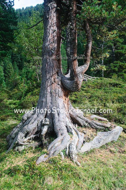 Gnawed pine tree trunk Austria, Zillertal High Alpine nature Park Hochgebirgs Naturpark near Ginzling, Tyrol