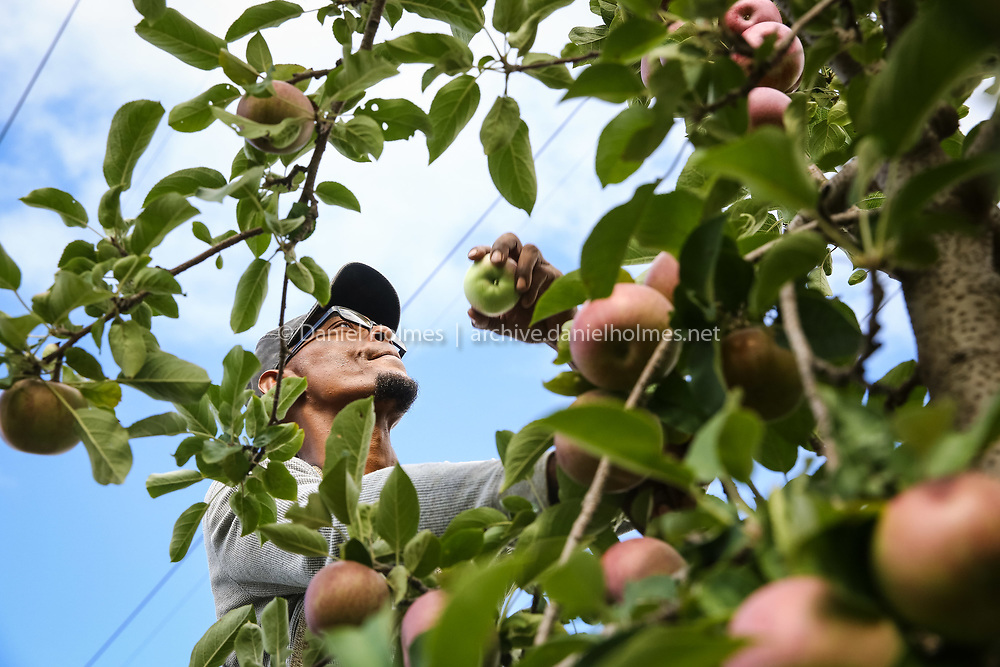 (9/14/15, FRANKLIN, MA) Fernando Valez picks some MacIntosh apples at Fairmount Fruit Farm  in Franklin on Monday. U-pick is open at the farm Monday through Friday from 1 p.m.  to 5 p.m. and on Saturday and Sunday from 10 a.m. to 4 p .m. Daily News and Wicked Local Photo/Dan Holmes