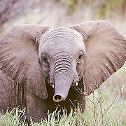 African Elephant, (Loxodonta africana)  Baby testing the wind. Kenya. Africa.