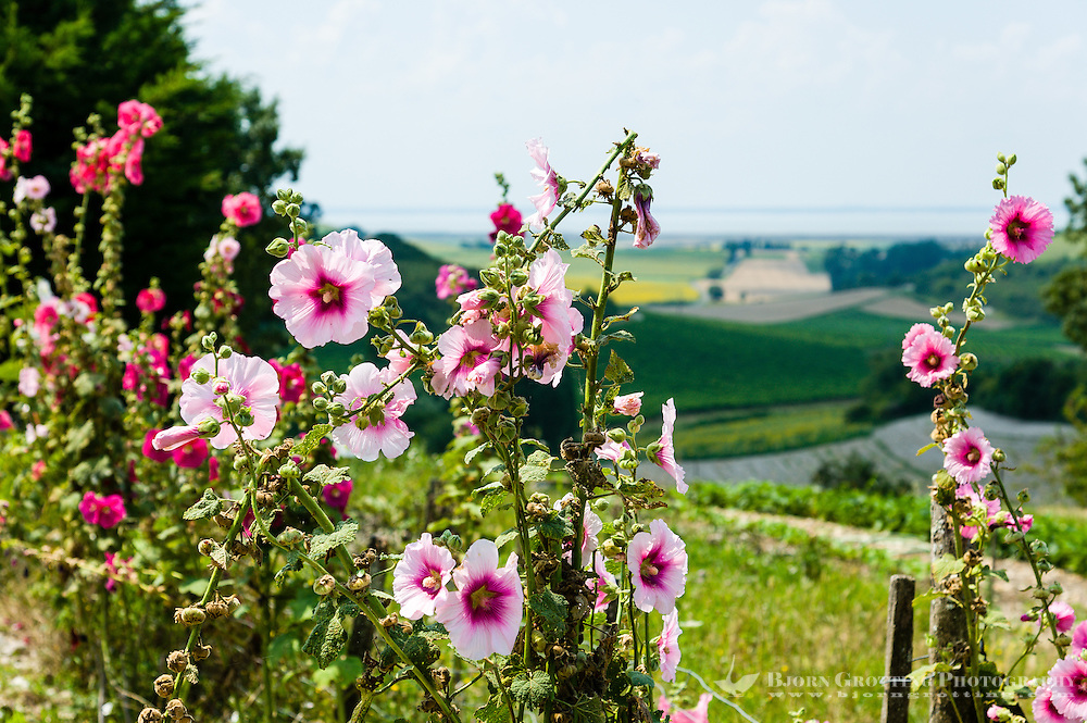 France, Saint-Fort-sur-Gironde. Roses above the Gironde estuary.