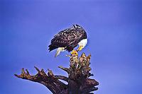 Bald Eagle (Haliaeetus leucocephalus) eating a fish.  Homer Spit, Alaska.