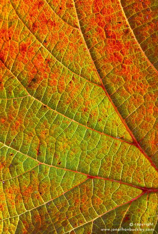 The foliage of Vitis coignetiae in autumn - Grape vine