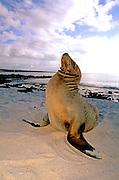 ECUADOR, GALAPAGOS Sea Lions on the beach