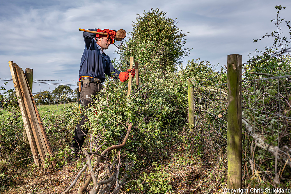 Camptown, Jedburgh, Scottish Borders, Scotland, UK. 21st September 2021. Professional hedge layer Theo Dunn works on a Hawthorn hedgerow at Dolphinston Farm near Jedburgh in the Scottish Borders. The process thickens the hedge and has been utilised as cavalry defences and stock fences throughout history. A laid hedge's lifespan is extended a further 200 years, and its closeness to the ground offers shelter to wildlife from lizards to foxes.