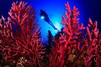 27/Septiembre/2019 Islas Baleares. Ibiza.<br /> Gorgonias rojas, Paramuricea clavata, en la inmersión de Na Xamena con Vellmarí de Formentera.<br /> <br /> ©JOAN COSTA