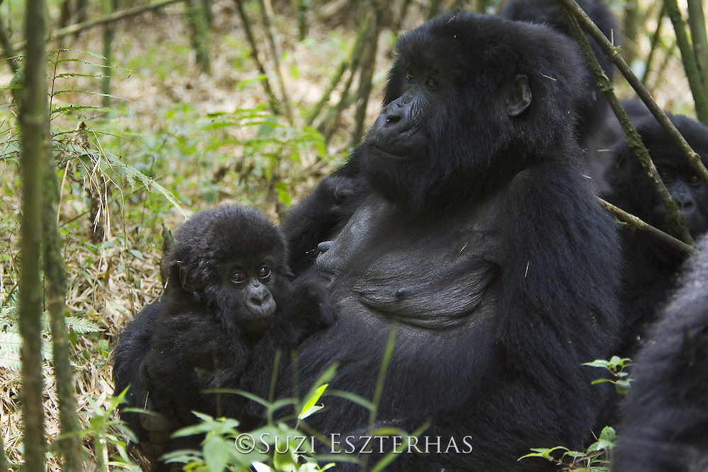 Mountain Gorilla<br /> Gorilla gorilla beringei<br /> Mother and 10 mos old infant<br /> Parc National des Volcans, Rwanda