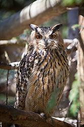 23.04.2011, Wildpark Ferleiten, AUT, Wildpark Ferleiten, im Bild ein Uhu blickt in Richtung Kamera // an owl looks towards camera, EXPA Pictures © 2011, PhotoCredit: EXPA/ J. Feichter