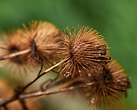 Burdock Seed. Image taken with a Leica SL2 camera and Sigma 105 mm f/2.8 macro lens.