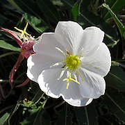 The flower of the White Evening Primrose, Oenothera caespitosa, lasts only one night after blooming in the evening in the Sonoran Desert of southern Arizona.