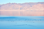 Feeding Ducks on Pyramid Lake, Nevada