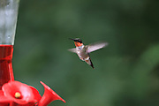 Male Ruby-throated hummingbird at feeder in summer.