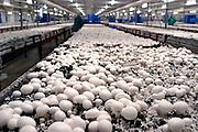 Nederland, Horst, 15-10-2003..Champignon kwekerij Heveco. In deze hal oogsten, plukken voornamelijk werknemers uit Polen legaal de champignons die op een andere locatie opgekweekt zijn.  Delicatesse, lekkernij, arbeidskrachten, schimmel, paardenmest, uitzendkrachten, Europa, champignon productie, voedsel produktie, werkloosheid...Foto: Flip Franssen/Hollandse Hoogte