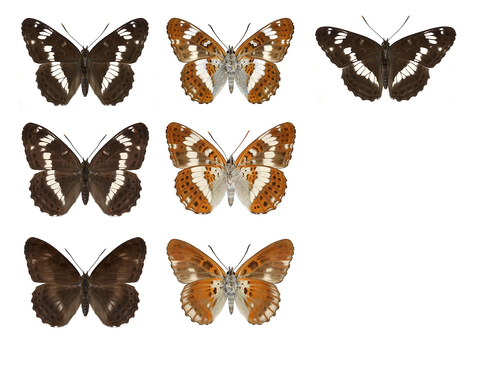White Admiral - Limenitis camilla - male (top row) - female (middle row) - aberration nigrina (bottom row - left female, right male). Wingspan 50mm. Glides with ease, flies swiftly and visits Bramble flowers along woodland rides. Adult has blackish upperwings with white bands; chestnut underwings have similar pattern of white to upperwings. Flies June-July. Larva is mainly green with tufts of spiny, orange hairs; feeds on Honeysuckle. Locally common in broadleaved woodland in southern England.