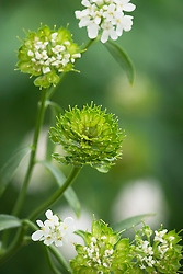 Iberis umbellata 'Candy Cane series White' - Common candytuft
