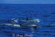 pan-tropical spotted dolphins,<br /> Stenella attenuata, Kona Coast<br /> Big Island, Hawaii, USA ( Central Pacific Ocean )