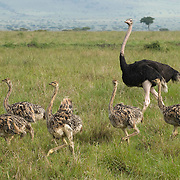Ostrich (Struthio camelus) family with chicks. Masai Mara National Reserve, Kenya, Africa