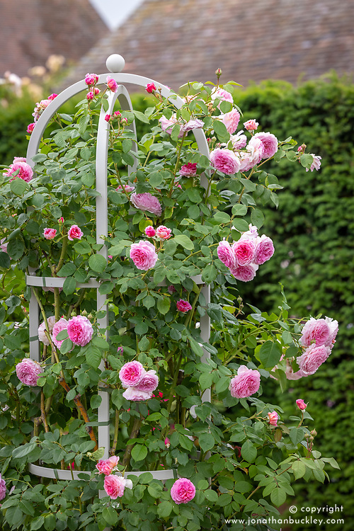 Rosa 'James Galway' syn. 'Auscrystal' growing up an obelisk