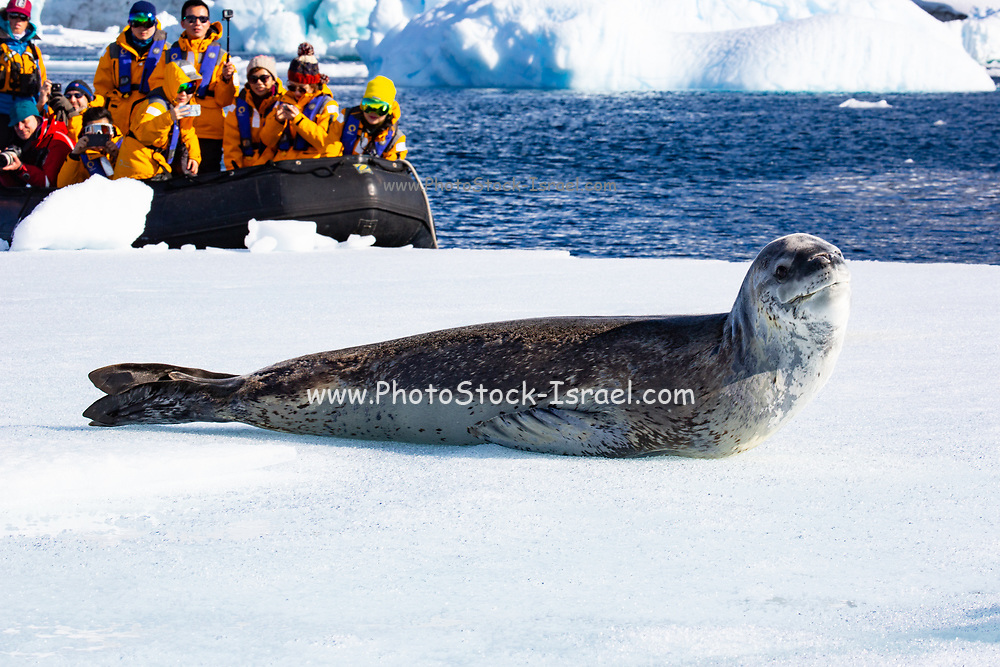 tourists are visiting a colony of Leopard seals (Hydrurga leptonyx) on ice floe, Antarctica.