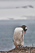 Cute gentoo penguin standing on its nest.